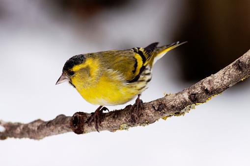 Bird「Siskin male (Carduelis spinus) on branch in winter - Bavaria/Germany」:スマホ壁紙(1)