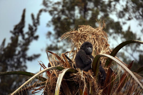Dian Fossey「Congo Battles To Save Wildlife After Years Of War And Poaching」:写真・画像(11)[壁紙.com]