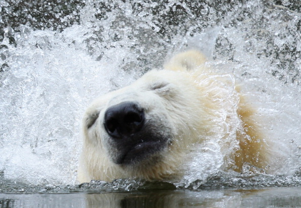 Polar Bear「Berlin Zoo Receives New Polar Bear」:写真・画像(17)[壁紙.com]