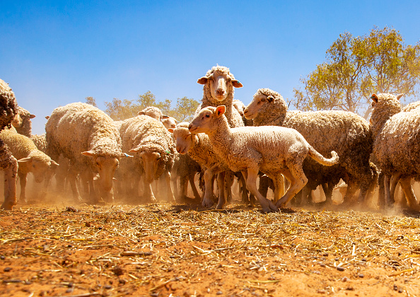 Sheep「Louth Farmers Continue To Feel Impact Of Drought And Alleged Murray-Darling Basin Mismanagement」:写真・画像(9)[壁紙.com]