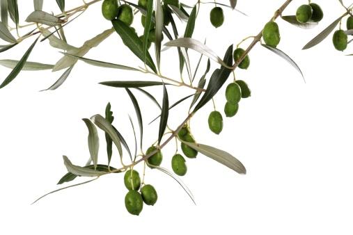小枝「Fresh olives on twig, close-up」:スマホ壁紙(17)