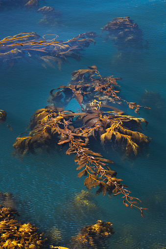 Falkland Islands「Bull Kelp (Durvillaea) Falkland Islands」:スマホ壁紙(16)
