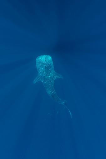 ジンベイザメ「Indonesia, Cenderawasih Bay, Whale shark, Rhincodon typus」:スマホ壁紙(9)