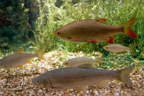 Carp「Rudd and carp swimming in aquarium」:スマホ壁紙(6)