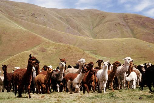Pack Animal「Herd of Alpacas」:スマホ壁紙(17)