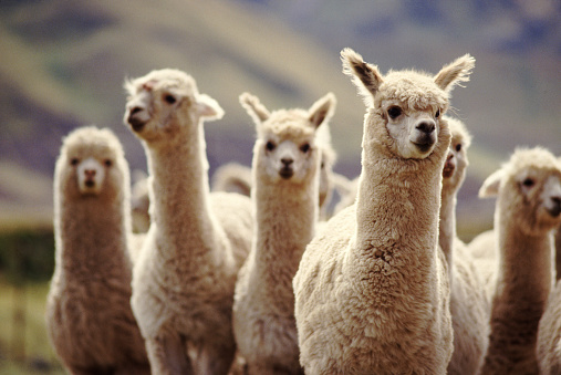 Curiosity「A herd of Alpaca」:スマホ壁紙(2)