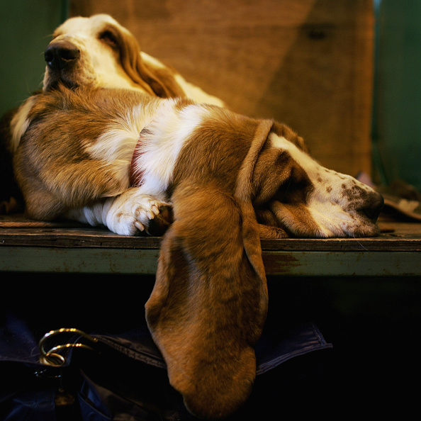Animal Ear「Crufts International Dog Show」:写真・画像(1)[壁紙.com]