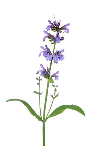 満開「Sage / Garden Sage (Salvia officinalis).」:スマホ壁紙(5)