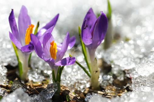 クロッカス「春の 3 つのクロッカス花 Thawing 雪と氷の」:スマホ壁紙(4)