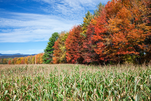 Stowe - Vermont「Corn growing in a field and autumn coloured leaves」:スマホ壁紙(19)