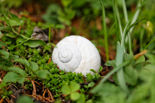 カタツムリ「Shell of edible snail, Helix pomatia」:スマホ壁紙(17)