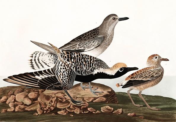 Beak「Black Bellied Plover」:写真・画像(1)[壁紙.com]