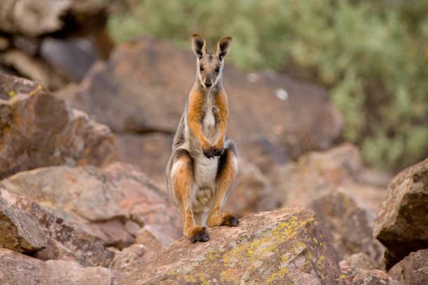 Yellow-footed rock wallaby:スマホ壁紙(壁紙.com)