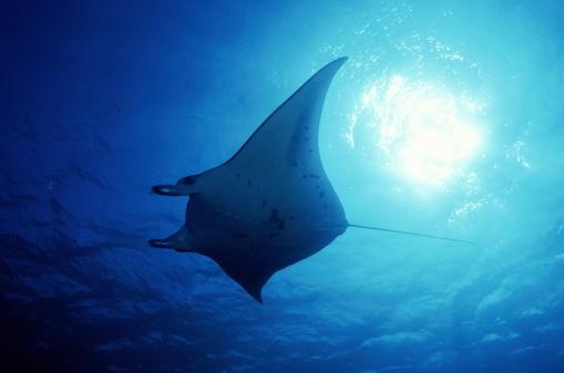 Manta「Manta ray,Micronesia」:スマホ壁紙(3)