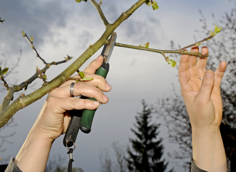 Prune「pruning shears and apple tree」:スマホ壁紙(9)