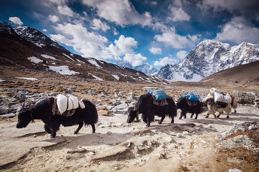 Sagarmāthā National Park「Yaks on Himalayas」:スマホ壁紙(13)