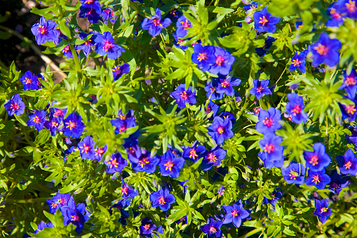 Flower Head「Dark blue petals and green foliage of Anagallis Monelli 'Blue Light'」:スマホ壁紙(9)