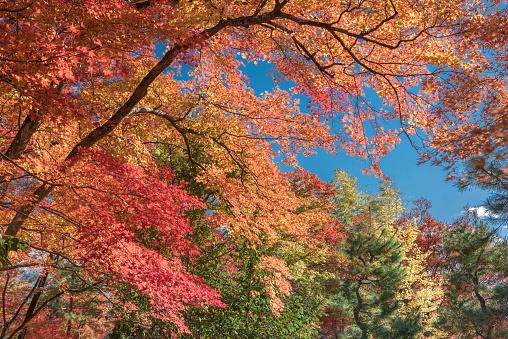 Japanese Maple「Japanese images」:スマホ壁紙(11)