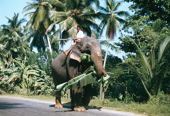 Sri Lanka「Kohut On Elephant」:写真・画像(8)[壁紙.com]