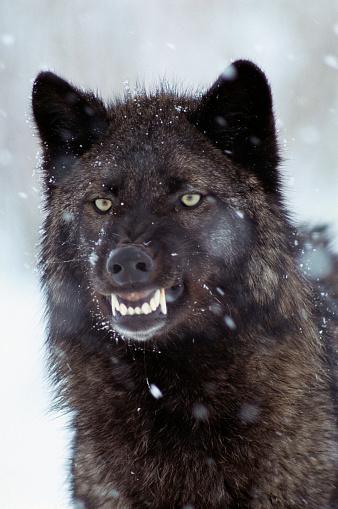 Warning Behavior「Snarling Timber Wolf」:スマホ壁紙(19)