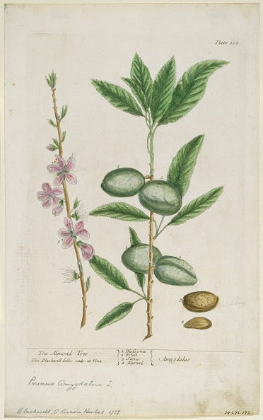 Petal「Prunus Amygdalis (Dulcis). (Sweet Almond)」:写真・画像(4)[壁紙.com]