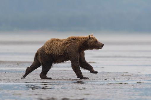 Animals Hunting「Grizzly, brown bear, Ursus arctos, running, Alaska」:スマホ壁紙(14)