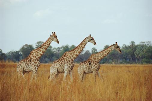 Tim Graham「Giraffe Herd, Botswana」:スマホ壁紙(2)
