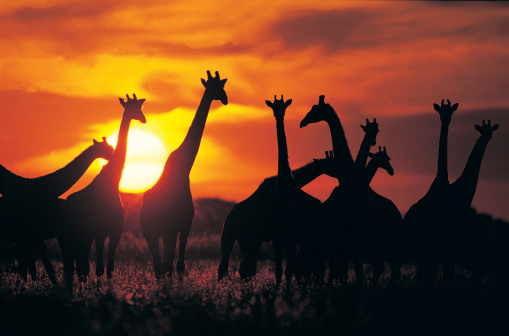 Giraffe「Giraffe herd in silhouette against sunset (Giraffa camelopardalis), Botswana, South Africa」:スマホ壁紙(11)