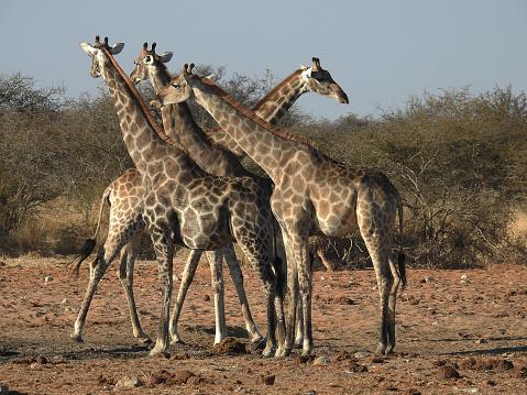 Giraffe「Giraffe herd」:スマホ壁紙(4)