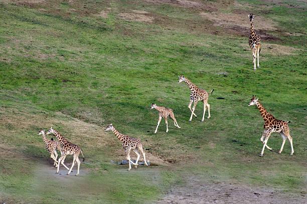 Giraffe herd:スマホ壁紙(壁紙.com)