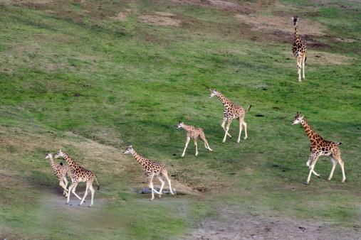Giraffe「Giraffe herd」:スマホ壁紙(13)