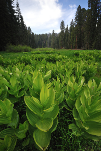 Corn Lilly「Crescent Meadow, Sequoia National Park, USA」:スマホ壁紙(8)