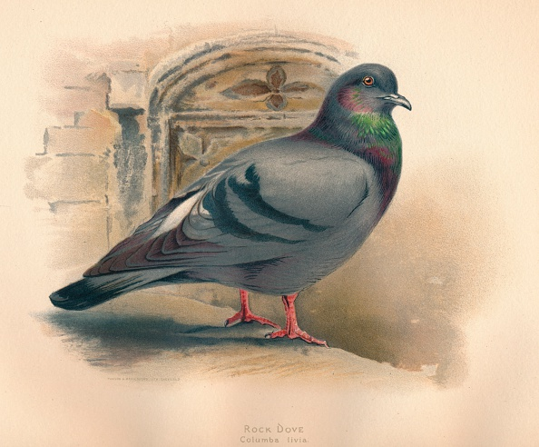 Chromolithograph「'Rock Dove (Columba livia)', c1900, (1900)」:写真・画像(16)[壁紙.com]