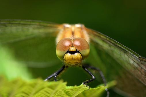 とんぼ「Face of ruddy darter, Sympetrum sanguineum」:スマホ壁紙(11)