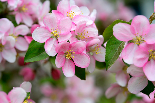 Apple Blossom「Pink apple blossoms blooming in the spring」:スマホ壁紙(7)