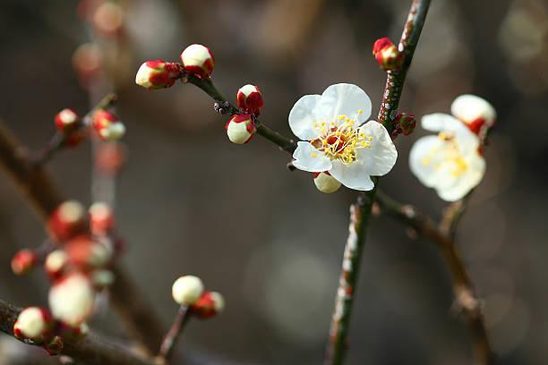 White plum blossoms:スマホ壁紙(壁紙.com)