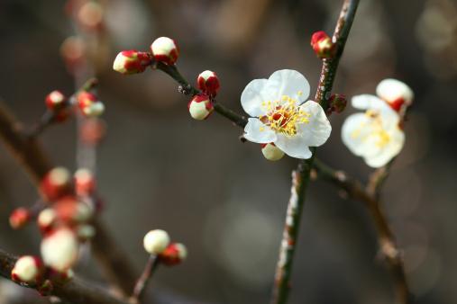 梅の花「White plum blossoms」:スマホ壁紙(18)