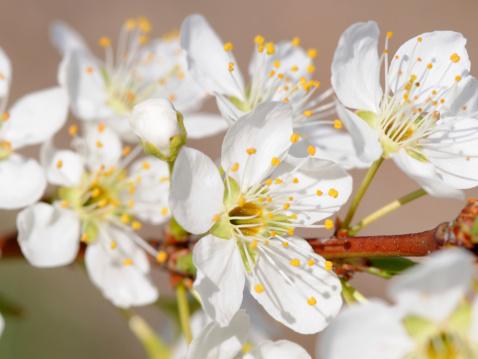 梅の花「White plum blossoms, Prunus domestica. San Jose, California, USA.」:スマホ壁紙(19)