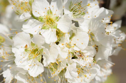 梅の花「White plum blossoms, Prunus domestica. San Jose, California, USA.」:スマホ壁紙(18)