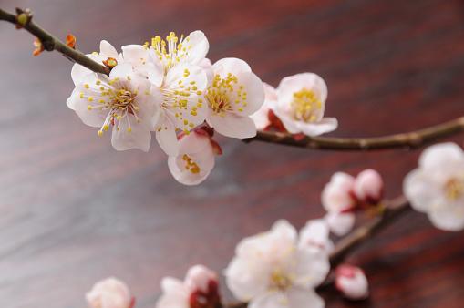 梅の花「White plum tree blossoms」:スマホ壁紙(16)