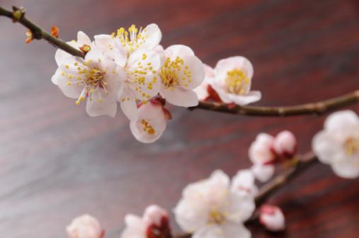 梅の花「White plum tree blossoms」:スマホ壁紙(6)