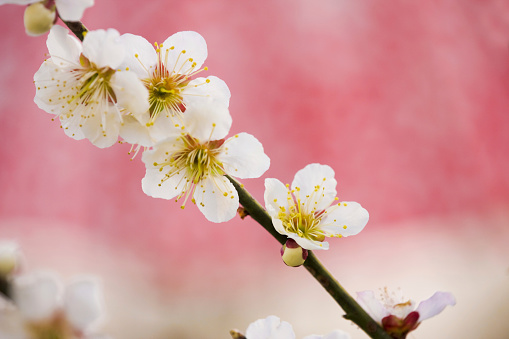 梅の花「White plum tree blossoms」:スマホ壁紙(19)