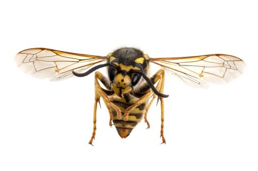 Fly - Insect「Wasp closeup」:スマホ壁紙(16)