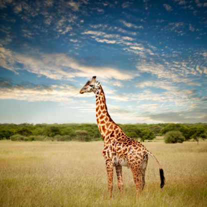 Carefree「Giraffe at Serenget in National Park,Tanzania」:スマホ壁紙(1)
