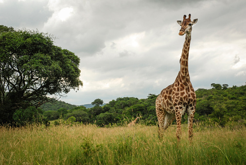 キリン「A giraffe at Hluhluwe-Imfolozi Game Reserve in South Africa.」:スマホ壁紙(5)