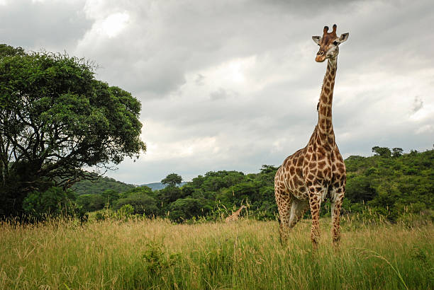 A giraffe at Hluhluwe-Imfolozi Game Reserve in South Africa.:スマホ壁紙(壁紙.com)