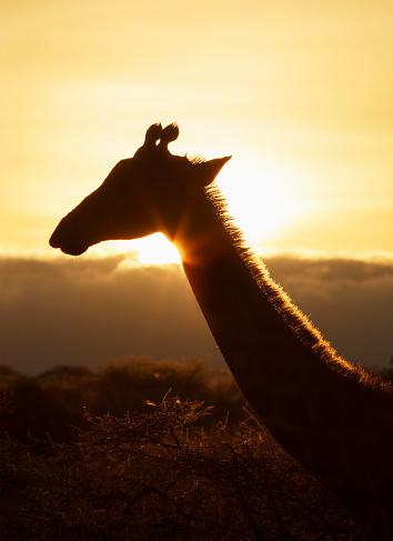 Giraffe「Giraffe at sunset」:スマホ壁紙(4)