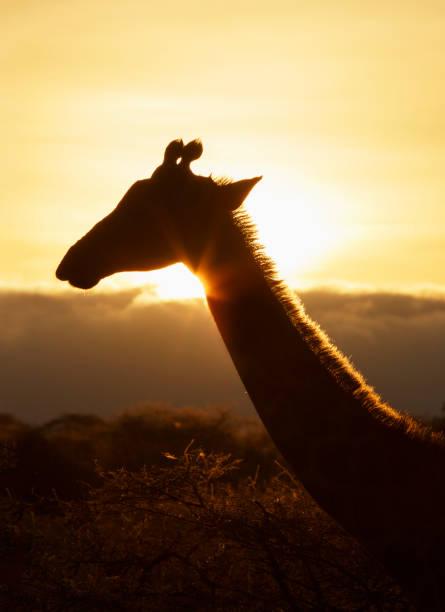 Giraffe at sunset:スマホ壁紙(壁紙.com)