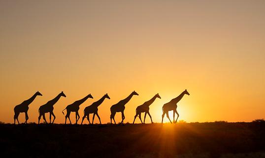 Giraffe「Giraffe at sunset in a Etosha National Park.」:スマホ壁紙(17)