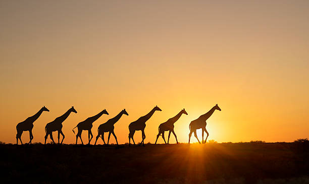 Giraffe at sunset in a Etosha National Park.:スマホ壁紙(壁紙.com)